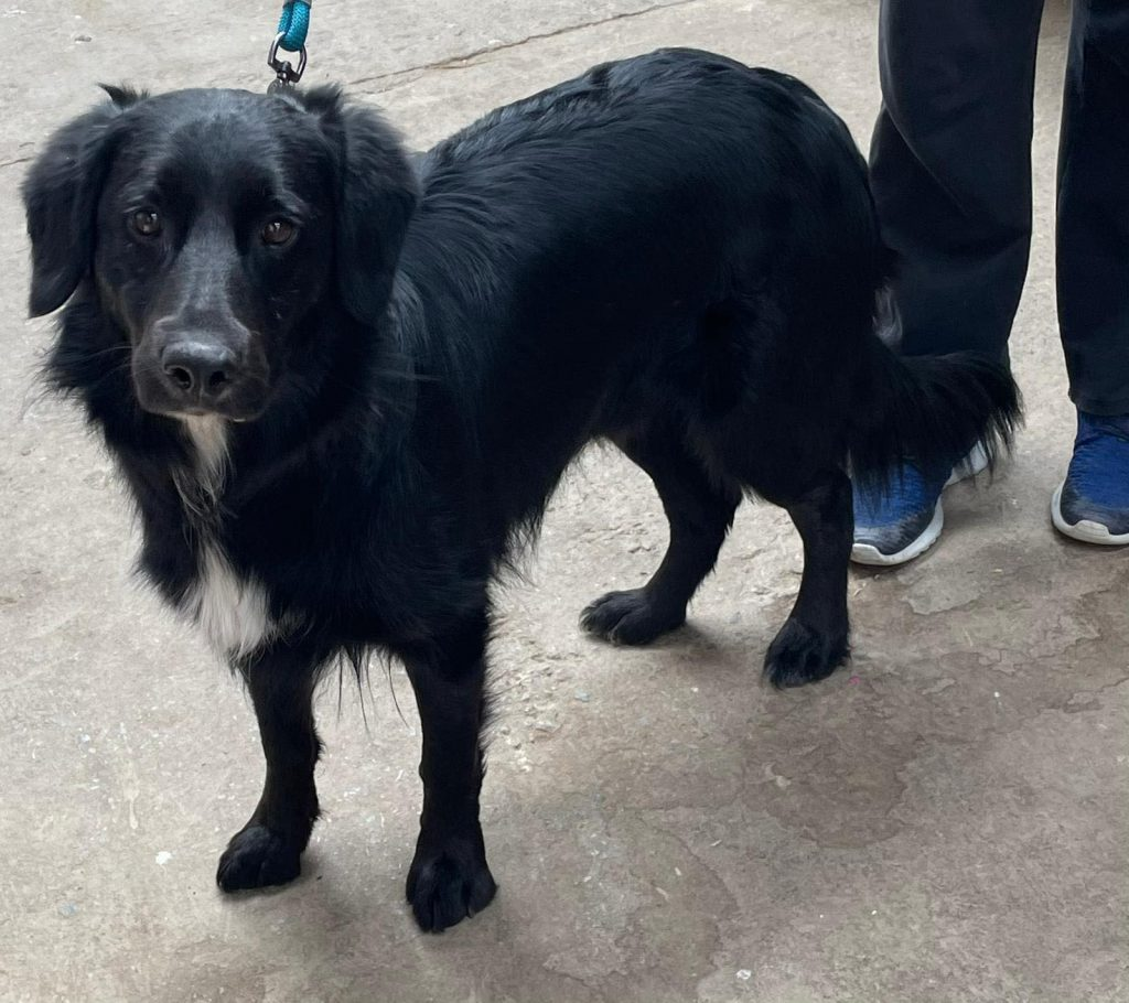 Ben is a 3 year Retriever Cross. He is currently being prepared for travel. Please check back for more details.